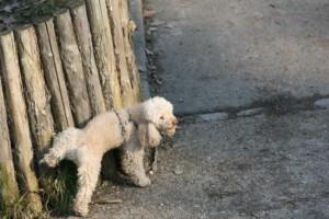 Le bicarbonate de soude, partenaire anti pipi de chien