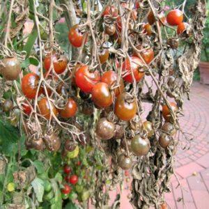 Traiter le mildiou de la tomate avec le bicarbonate
