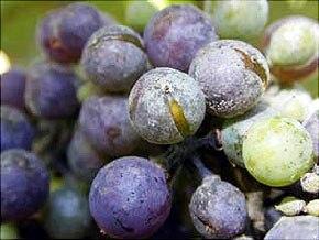 Le bicarbonate traite la vigne contre l'oïdium