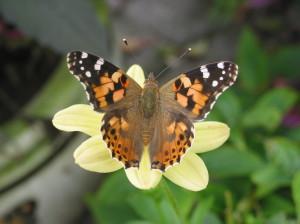 Le papillon: un insecte utile à préserver.